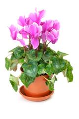 Pink cyclamen in a brown pot