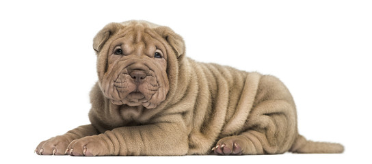Side view of a Shar Pei puppy lying down, looking at the camera