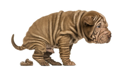 Side view of a Shar Pei puppy defecating, isolated on white