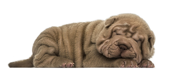 Side view of a Shar Pei puppy lying down, sleeping
