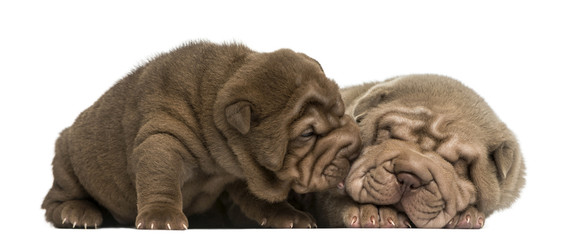 Shar Pei puppies cuddling, isolated on white