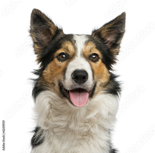 Fototapeta Close-up of a Border collie panting, facing, isolated on white