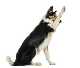 Side view of a Border collie pawing up, obeying