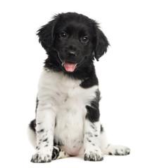 Stabyhoun puppy sitting, panting, looking at the camera