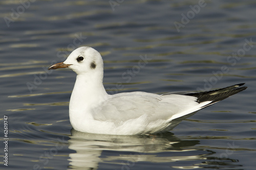 Black-headed Gull on water /  Chroicocephalus ridibundus
