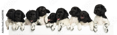 Pack of Stabyhoun puppies leaning on a white board
