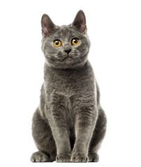 Front view of a Chartreux kitten sitting, 6 months old