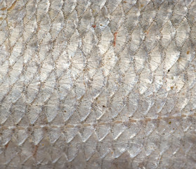 background of fish scales. macro