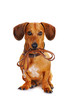 canvas print picture - dog with leather leash ready to go for a walk