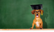 canvas print picture - dog wearing mortar board on green board background