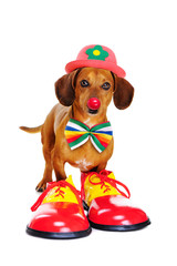 Dog wearing clown outfit