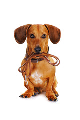 dog with leather leash ready to go for a walk