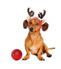 reindeer christmas dog with a christmas ball