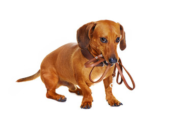 dachshund dog holding leash