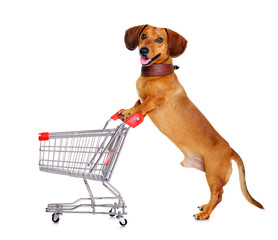 dachshund dog standing next to shopping  trolley