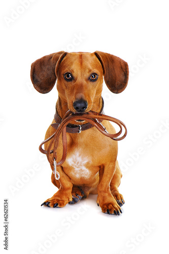 canvas print picture dog with leather leash ready to go for a walk