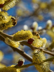 Bees collecting pollen on yellow catkins