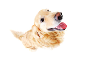 comic top view of golden  retriever