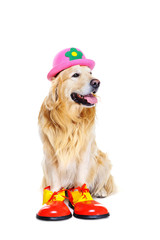 golden  retriever in clown outfit