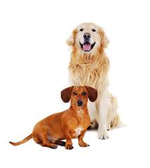 golden  retriever with dachshund dog sitting on the floor
