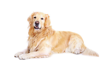 golden retriever on the floor