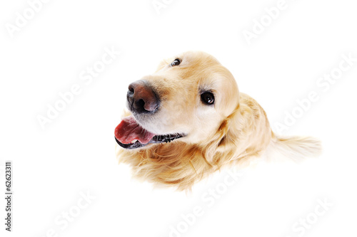 top view of golden  retriever