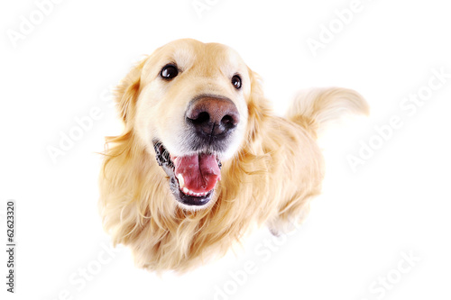distorted  top view of golden  retriever