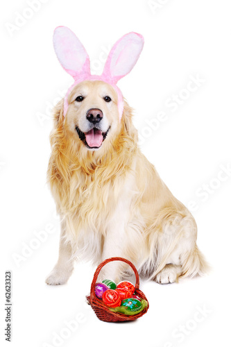 golden  retriever dressed up as bunny with easter basket