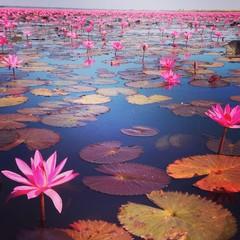 Pink Lotus Lake © ornsiriv