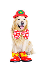 golden  retriever dressed as clown