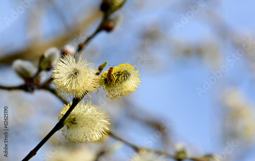 Bee collecting pollen from catkins