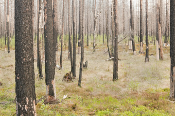 Burnt pine forest after a big forest fire