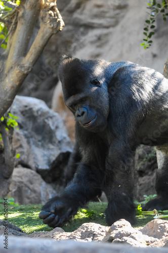 Strong Adult Black Gorilla