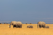 African elephants in grassland, Amboseli National Park