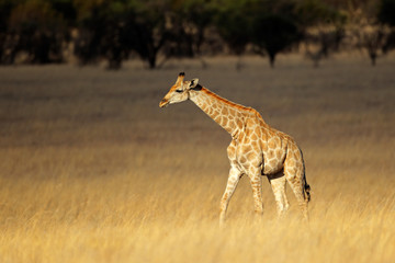 Giraffe in open grassland
