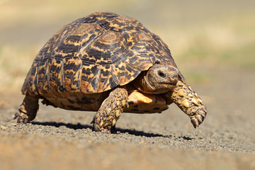 Leopard or mountain tortoise