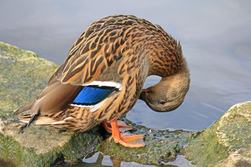 A female mallard cleaning itself.