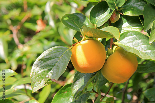 Persimmon tree with fruit in the orchard