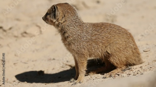 Yellow mongoose, Kalahari desert