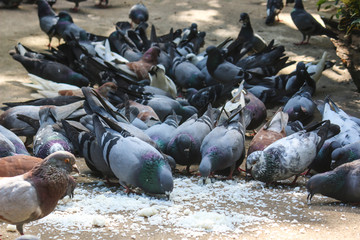 Pigeons are eating seed in the garden