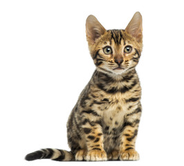 Front view of a Bengal kitten sitting, 3 months old