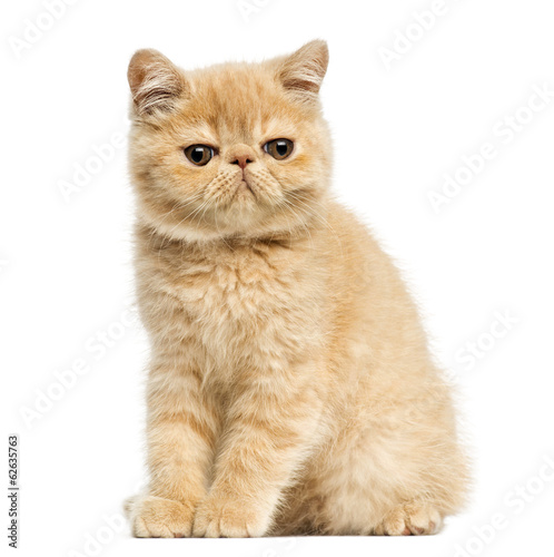 Exotic shorthair kitten sitting, looking at the camera