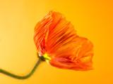 poppy close up (150)