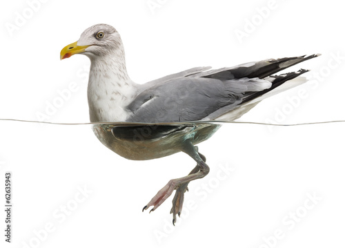 European Herring Gull floating in the water, Larus argentatus