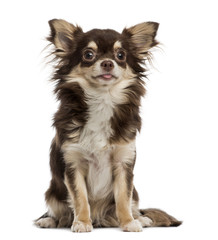 Chihuahua, isolated on white