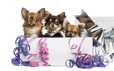 Group of Chihuahuas in a present box
