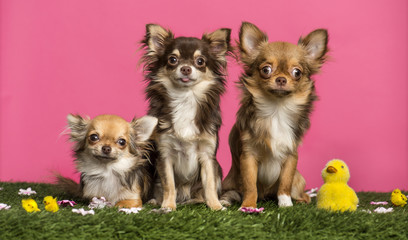 Group of Chihuahuas sitting in an easter scenery