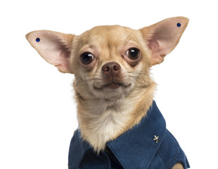Close-up of a dressed-up Chihuahua wearing earrings