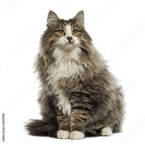 Norwegian Forest cat sitting, looking up, isolated on white
