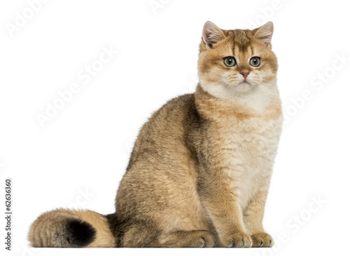British shorthair sitting, isolated on white